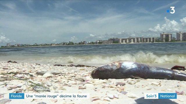 """Floride : une """"marée rouge"""" décime la faune"""