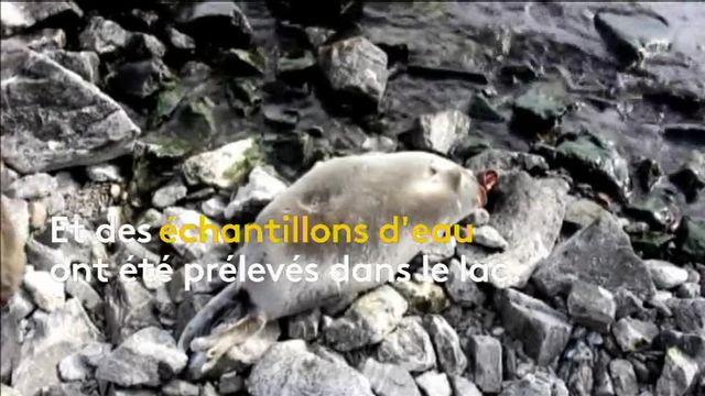 Les causes de la mort de ces animaux ne sont pas encore connues. Mais face à l'ampleur du phénomène, une enquête est ouverte.