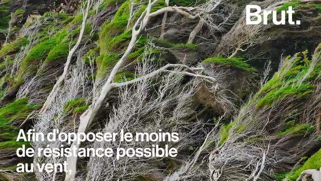 À l'extrême sud de la Nouvelle-Zélande, la flore doit s'adapter aux conditions météorologiques hostiles de la région. En témoignent les arbres de Slope Point.