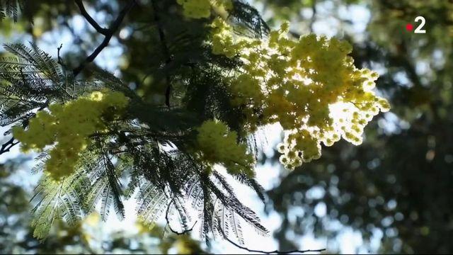 20H : Côté d'Azur : la saison du mimosa