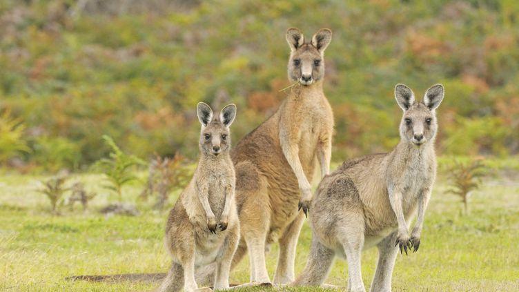 Des kangourous forestiers en Tasmanie (Australie) (DAVE WATTS / GAMMA-RAPHO /GETTY)