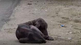 Capture d'écran montrant le chien malade dans une rued'Udaipur dans le Rajasthan (inde), septembre 2015. (ANIMAL AID UNLIMITED / YOUTUBE)