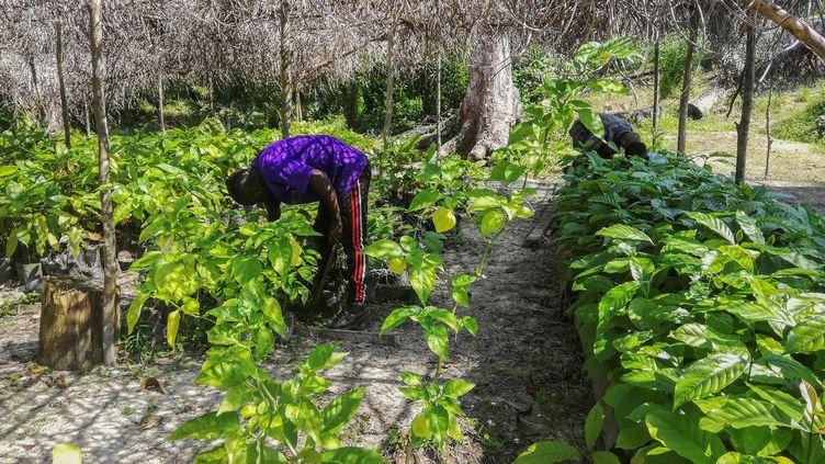 La culture du cacao dans une ferme proche de la capitale gabonaise Libreville (photo du 8 juin 2019). (SONIA BAKARIC / AFP)