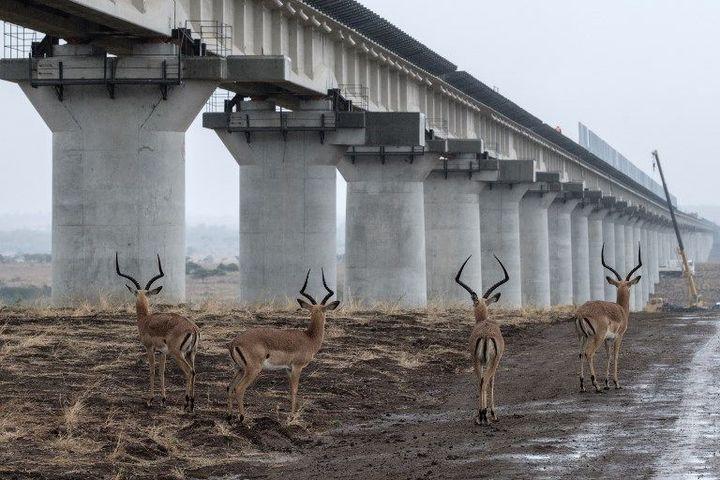 Des impalas sous les voies du chemin de fer du SGR dans le parc national de Nairobi, au Kenya.  (Yasuyoshi CHIBA / AFP)
