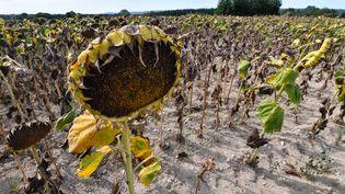 Un champ de tournesols brûlé par la sécheresse, dans le Gard, le 21 août 2019. (PASCAL GUYOT / AFP)