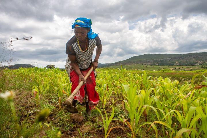 Le rôle des femmes dans l'agriculture africaine est essentiel. Par semaine, elles travaillent douze heures de plus que les hommes dans les champs. (OSVALDO SILVA / AFP)