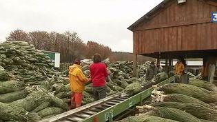 Sapins de Noël : zoom sur une pépinière du Morvan (FRANCE 3)