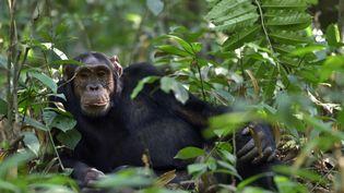 Chimpanzé commun (Pan troglodytes) couché dans la forêt de Kibale, en Ouganda. (PIERRE VERNAY / BIOSPHOTO via AFP)