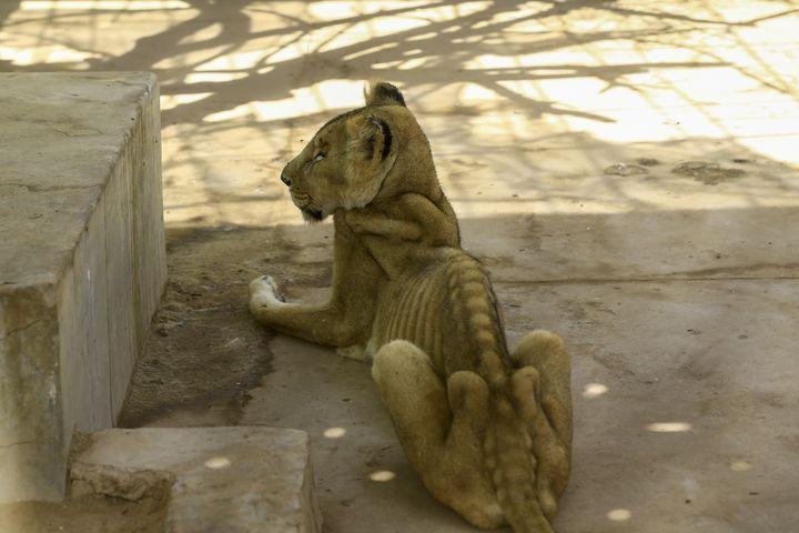 Lionne affamée dans sa cage au zoo de Khartoum, le 19 janvier 2020. (ASHRAF SHAZLY / AFP)