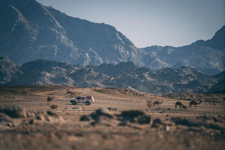 Des dromadaires croisés lors des reconnaissances du Dakar 2021
