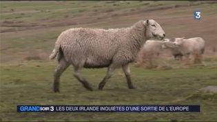 Un élevage de moutons en Irlande (France 3)
