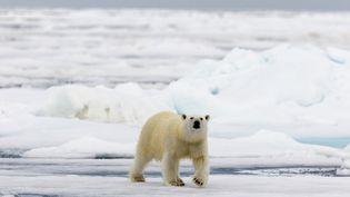 La fonte de la banquise oblige les ours polaires, comme celui-ci en Norvège, à parcourir plus de kilomètres pour se nourrir en été. (SYLVAIN CORDIER / AFP)