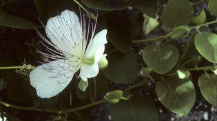 Câprier épineux en fleurs. (LEEMAGE VIA AFP)