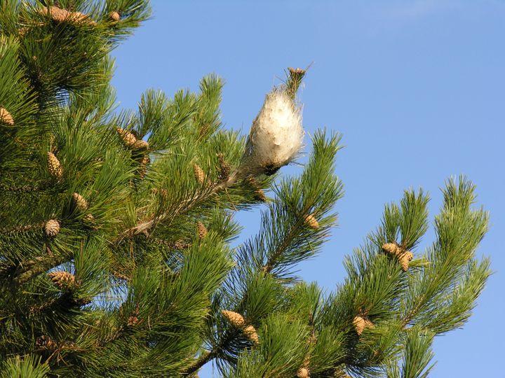 Un nid de chenilles processionnaires du pin. (JEROME ROUSSELET / INRAE VAL DE LOIRE)
