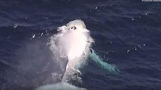 Une baleine à bosse blanche aperçue, le 9 août 2015, au large de l'Australie. (MASHABLE / YOUTUBE)