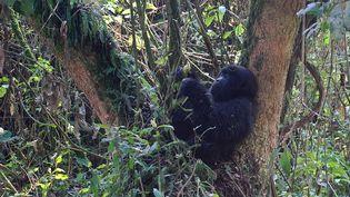 """Leplus grand gorille du monde est """"en danger critique"""" de disparition, d'après l'UICN, qui a mis à jour sa liste rouge des espèces menacées, dimanche 4 septembre. (PETER MARTELL / AFP)"""
