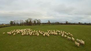 """""""Sheep"""", et le berger qui le pilote,se chargent de mener les troupeaux de moutons. (PAUL BRENNAN / YOUTUBE)"""