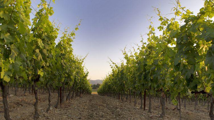 Des vignes, à Montpellier (Occitanie). Photo d'illustration. (GUILLAUME BONNEFONT / MAXPPP)