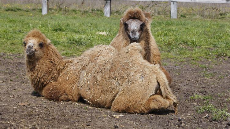 Le cirque propriétaire est venu récupérer les six chameaux évadés. (CHRISTIAN WATIER / MAXPPP)