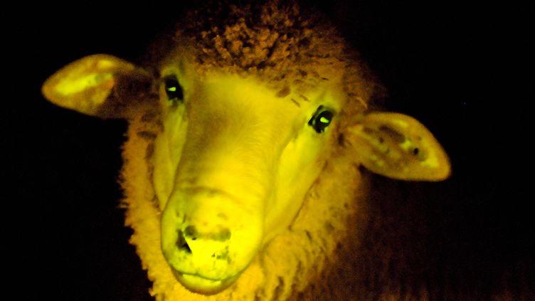 Un mouton transgénique phosphorescent, le 23 avril 2013, dans un laboratoire de la fondation IRAUy à Montevideo (Uruguay). (JAVIER CALVELO / IRAUY / AFP)