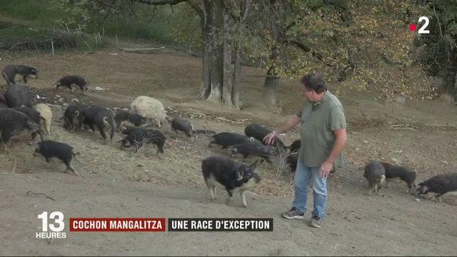 Le cochon Mangalitza, une race d'exception