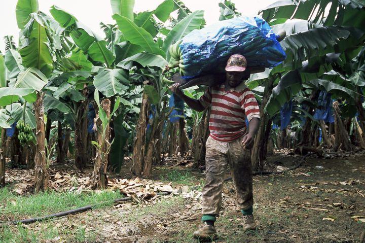 Un ouvrier agricole porte un régime de bananes dans une plantation au François, en Martinique, le 6 octobre 2015. (YADID LEVY / ROBERT HARDING HERITAGE / AFP)