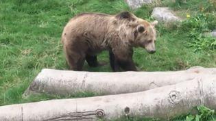 """Kiwi, l'un des héros du film """"L'Ours"""" de Jean-Jacques Annaud, a élu domicile dans un zoo près de Dunkerque (Nord), depuis 2005. À la suite d'une mobilisation citoyenne, elle va pouvoir aménager dans une réserve plus grande. (FRANCE 3)"""