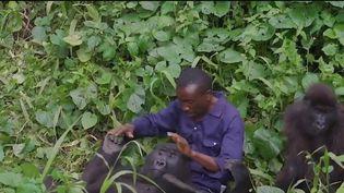 Elle a connu lagloire grâce aux réseaux sociaux et sa relation avec son soigneur avaittouché le monde entier. Ndakasi, un gorille vivant en RépubliqueDémocratique du Congo, est décédée. Retour sur la vie de l'animal et desa relation d'exception avec son soigneur. (CAPTURE ECRAN FRANCE 2)