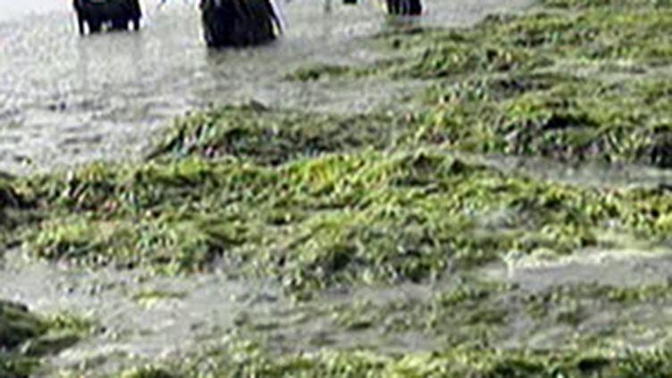 Algues vertes sur le littoral breton (2009) (© F2)