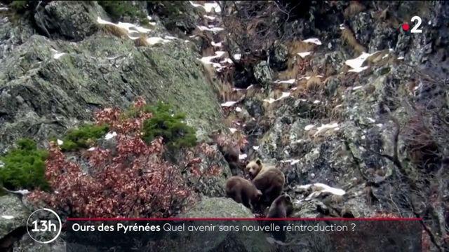 Pyrénées : faut-il réintroduire d'avantage d'ours ?