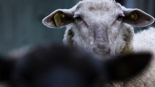Un mouton, dans un élevage de l'Eure (illustration). (JOEL SAGET / AFP)