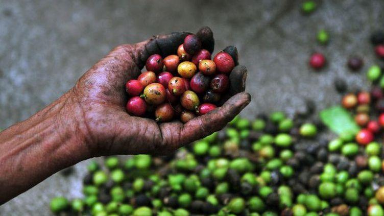 Une femme montre des grains de café arabica dans une ferme de Cuatro Esquinas, à 32 km au sud de Managua, la capitale du Nicaragua. L'arabica est le café préféré des Européens. (Hector RETAMAL / AFP)