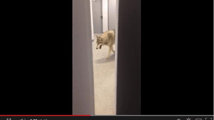 La vidéo du loup de Kate Hansen était un canular
