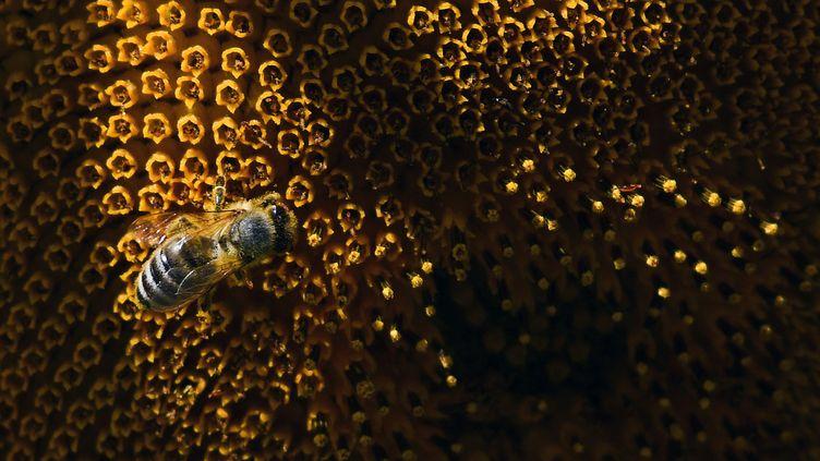Une abeille en Allemagne, le 30 juillet 208. (INA FASSBENDER / DPA / AFP)