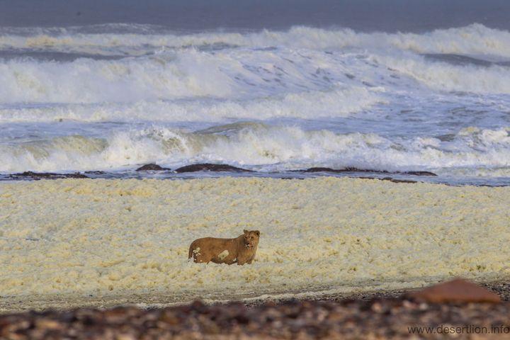 Une lionne du désert sur la plage de Skeleton Coast au nord-ouest de la Namibie. (Namibian Journal of Environment)