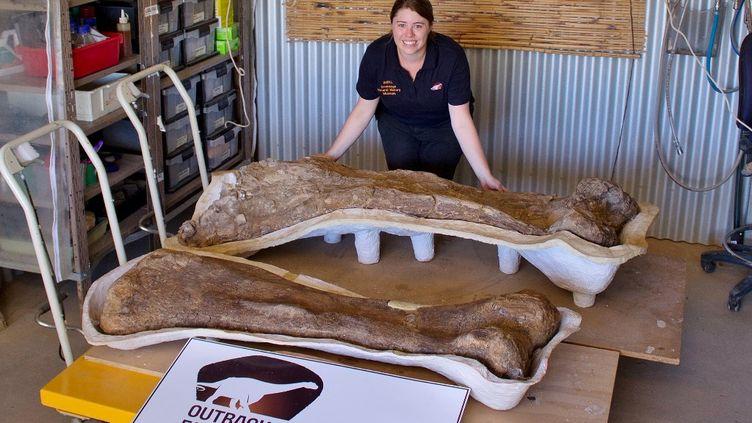 """Des fossiles du spécimen del'espèce """"Australotitan cooperensis"""", le 19 mars 2014 à Eromanga, en Australie. (SCOTT HOCKNULL / THE EROMANGA NATURAL HISTORY MUSEUM / AFP)"""