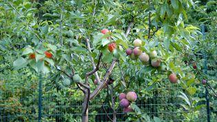 L'un des arbres utilisés par Sam Van Aken pour son expérience. (SAM VAN AKEN)