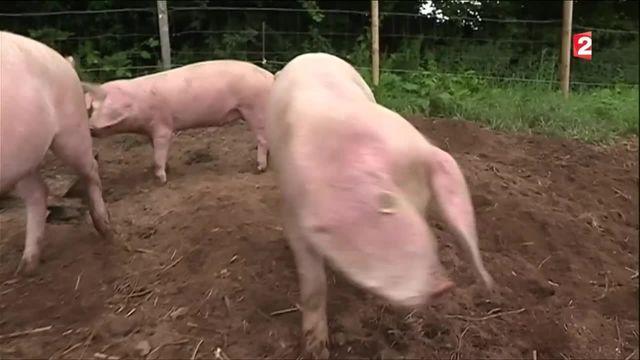 Produits d'exception : le porc blanc de l'Ouest