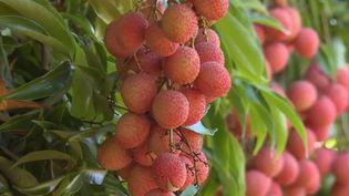 Le litchi est né en Chine, il a été introduit à La Réunion au XVIIIe siècle. L'île de l'océan Indien est l'un des plus gros producteurs. (FRANCE 3)