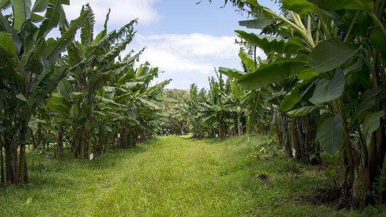 Une plantation de bananes à Petit-Bourg, en Guadeloupe, le 9 avril 2018. (HELENE VALENZUELA / AFP)