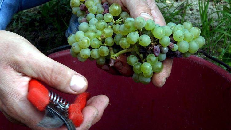 Une grappe de raisins coupée avec un sécateur. Photo d'illustration.  (MAXPPP)