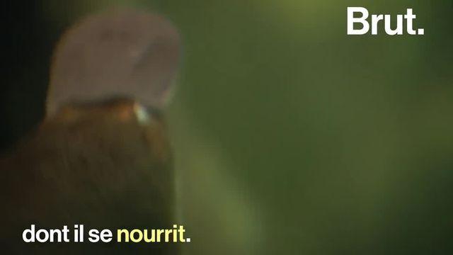 Il a un bec de canard, une queue de castor, un pelage de loutre et il pond des œufs… Voici l'un des mammifères les plus étranges : l'ornithorynque.