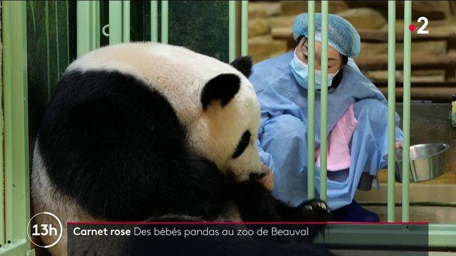 Zoo de Beauval : Huan Huan a donné naissance à deux bébés pandas