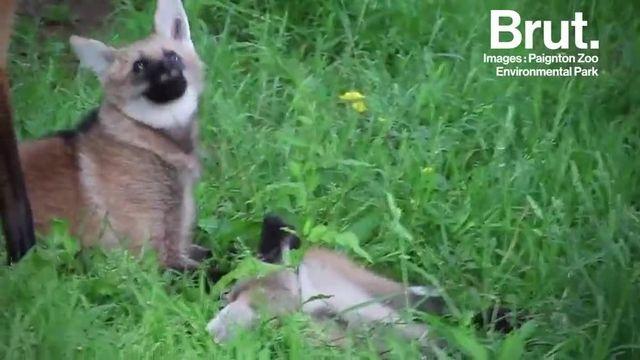 En Amérique du Sud vit un canidé comme on a rarement l'habitude d'en voir. Avec sa crinière et ses longues pattes, le loup à crinière ne passe pas inaperçu.