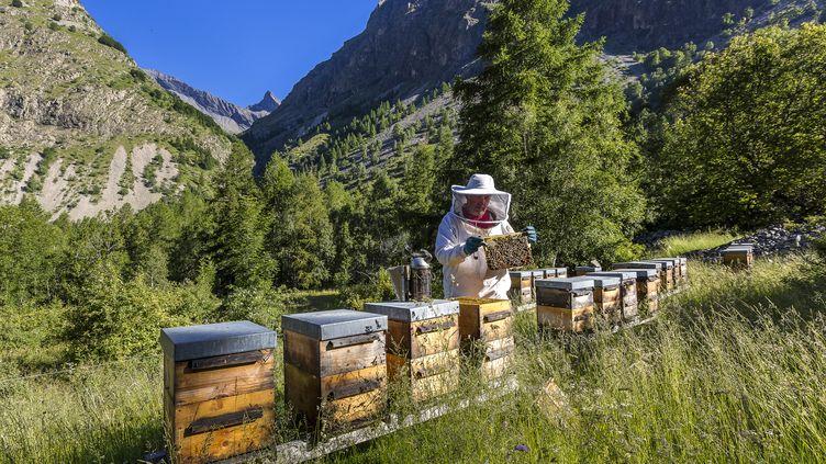 Un apiculteur et ses ruches dans le parc national des Ecrins (Hautes Alpes), le 24 décembre 2015. (BERTRAND BODIN / ONLY FRANCE)