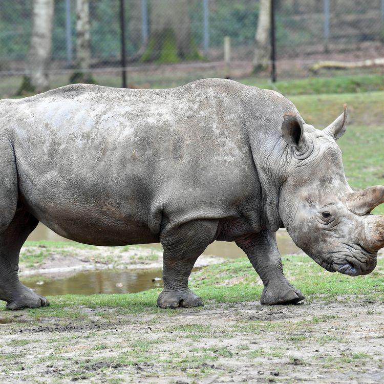 """Après la mort de Vince, un rhinocéros du zoo de Thoiry (Yvelines), lundi 6mars, les enquêteurs sont lancés dans une course contre la montre pour élucider une affaire """"compliquée"""" et retrouver sa corne sciée et volée lors de cette attaque inédite en Europe. (MUSTAFA YALCIN / ANADOLU AGENCY / AFP)"""