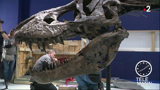 Un T-Rex quasi complet débarque au Muséum d'Histoire naturelle