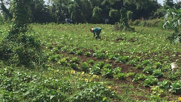 La filière bio en Martinique pourtant en pleine croissance a du mal à satisfaire la demande locale. Alexandre Terne, au Lorrain a opté pour la diversification agricole. (MARTINIQUE 1ERE)