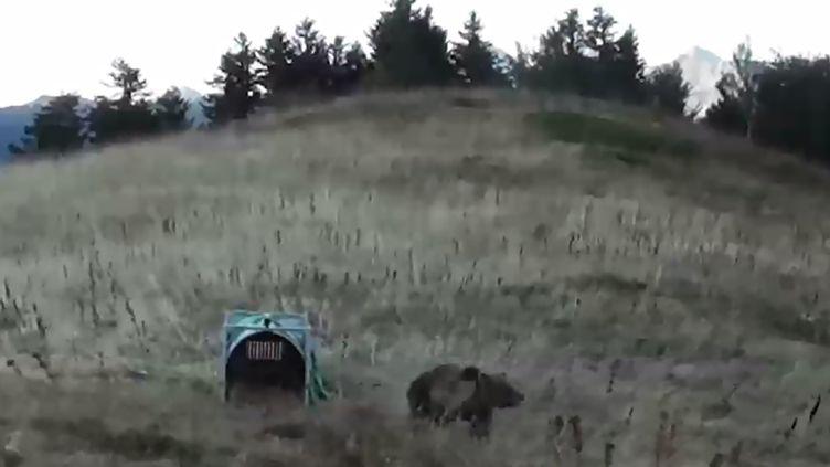 L'une des deux ourses réintroduites dans les Pyrénées-Atlantiques, le 5 octobre 2018. (ONCFS / AFP)