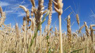 Des céréales bio. (THIERRY COLIN / FRANCE-BLEU SUD LORRAINE)